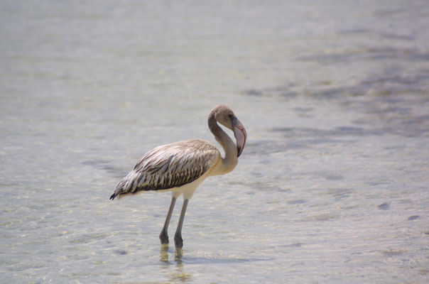 Lac Bay: Junveniler Flamingo