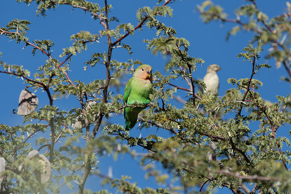 17.05. Etango Ranch Guest Farm, Rosy-faced lovebird - Agapornis roseicollis