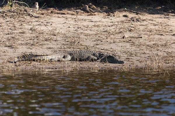 Nilkrokodil - Crocodylus niloticus