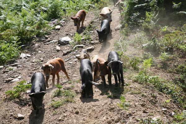 22.5. Wie überall auf Korsika treffen wir auch hier auf wilde Schweine.