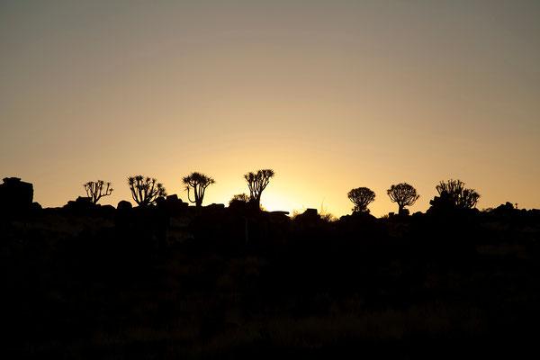 11.2. Köcherbäume (Aloe dichotoma) am Abend