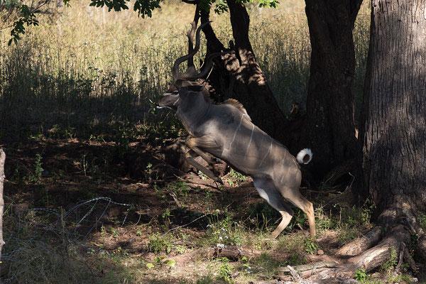Kudu - Tragelaphus strepisceros