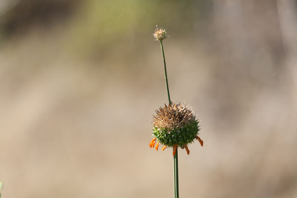 06.05. Chobe NP; Wild dagga - Leonotis nepetifolia
