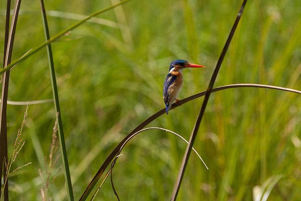 27.4. Mavunje - Bootstour; Malachite kingfisher - Alcedo cristata