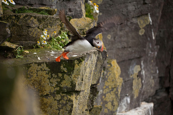 7.8. Westfjorde - Látrabjarg - Papageientaucher (Fratercula arctica)