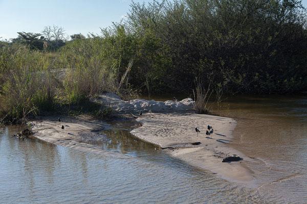 25.4. Bootsfahrt am Kavango, Blacksmith plover - Vanellus armatus