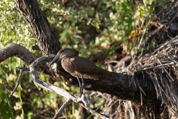 23.4. Bootsfahrt auf dem Kavango: Hammerkopf - Scopus umbretta