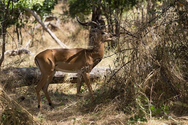 26.4. Bwabwata NP/Kwando Core Area; Impala - Aepyceros melampus
