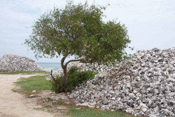 Conch - Gehäuse in der Lac Bay - die Schnecken (Lobatus gigas, Große Fechterschnecke) wurden (werden?) gegessen...