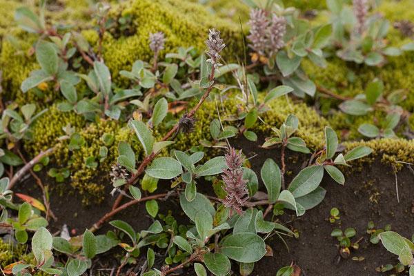 16.8. F 26 - Arktische Weide (Salix arctica)