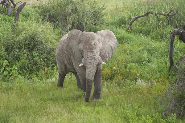 26.2. Etosha - Elefant (Loxodonta africana)