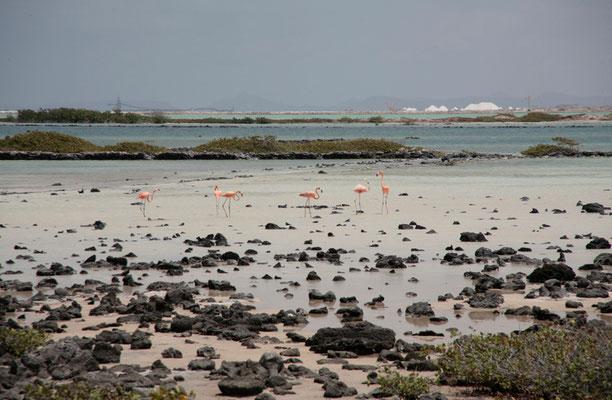 Bonaire beherbergt riesige Flamingokolonien