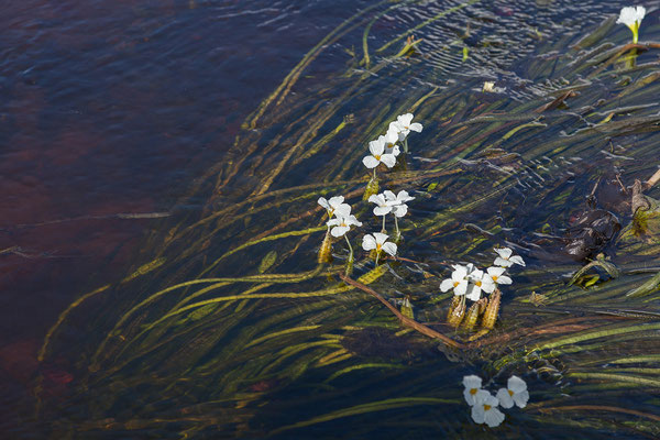 27.4. Mavunje - Bootstour; Duck lettuce - Ottelia alismoides