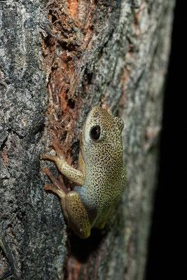 23.4. Es handelt sich großteils um die sehr variabel gefärbte Art Hyperolius marmoratus (Painted reed frog).
