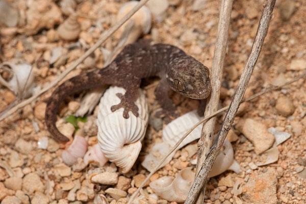 Unterwegs nach Lagún - Juveniler Gecko