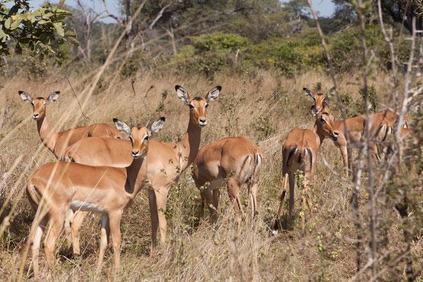 29.4. Bwabwata NP/Kwando Core Area, Impala - Aepyceros melampus