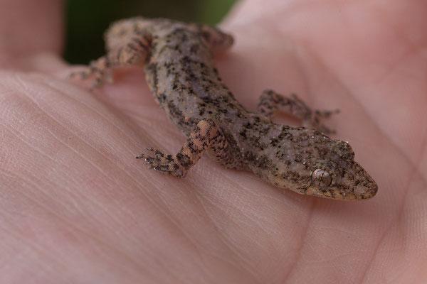 28.4. Mavunje; Moreau's tropical house gecko - Hemidactylus mabouia