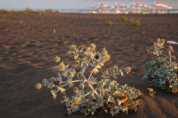 17.9. Velika Plaža, Stranddistel (Eryngium maritimum)