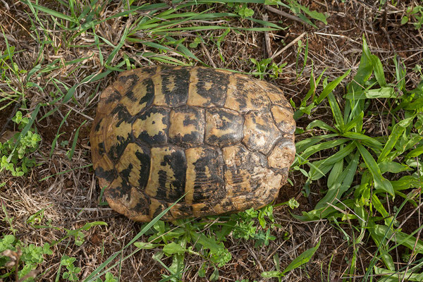 19.09. Auf dem Weg nach Molunat läuft uns eine Landschildkröte über den Weg.
