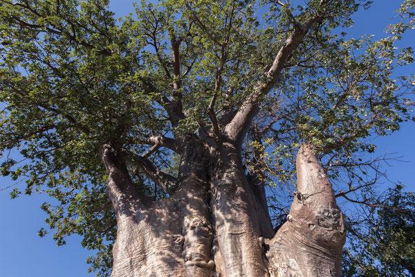 12.05. Nxai Pan NP, unser Baobab auf CS 3