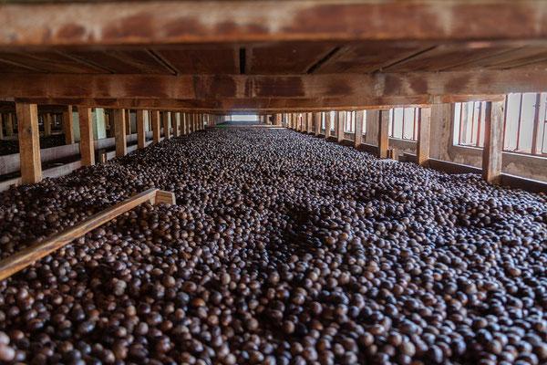 Wir besuchen die Muskatnussfabrik in Gouyave