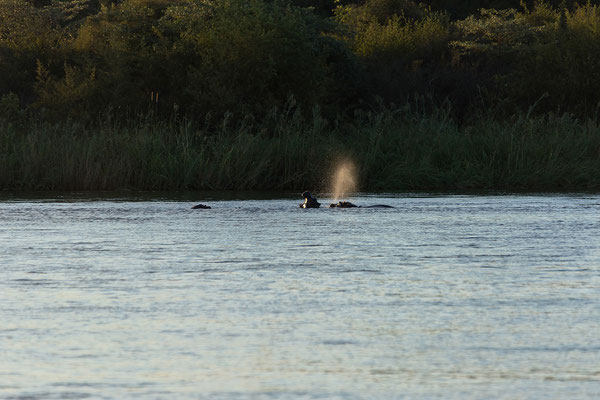24.4. Nunda River Lodge; direkt vor unserer Campsite hat eine Hippogruppe ihren Platz im Fluß.