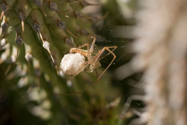 12.2. Lynx spider (Oxypidae)