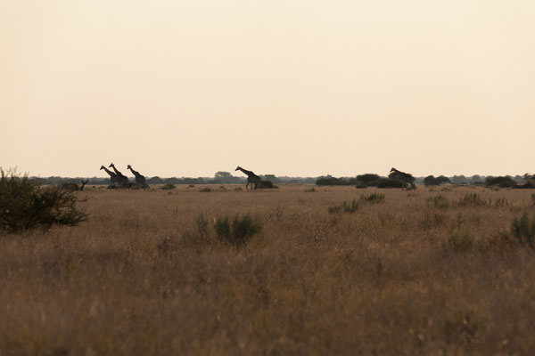 11.05. Nxai Pan NP, Abendstimmung mit Giraffen (Giraffa camelopardalis)