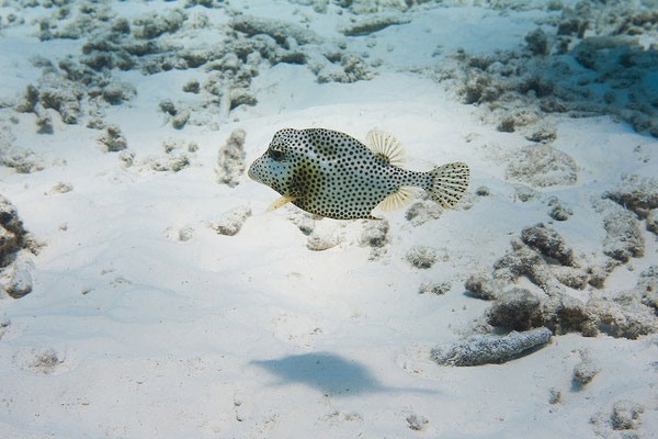 """""""Tori's Reef"""" - Kofferfisch"""