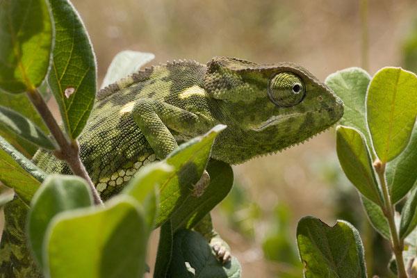 26.4. Flap-neck chameleon - Chamaeleo dilepis