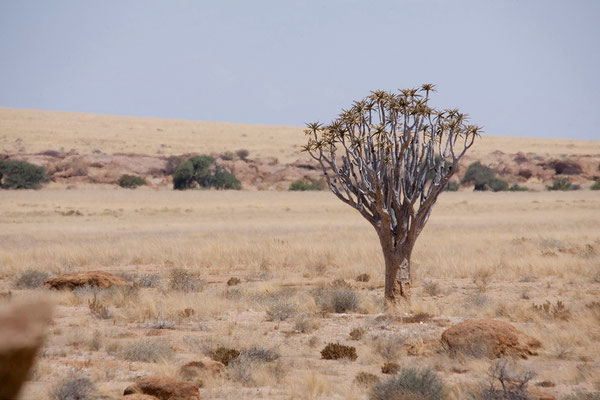 19.2. Köcherbaum (Aloe dichotoma)