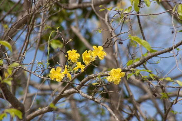 Washington Slaagbai National Park - Tabebuia billbergii, Yellow Poui