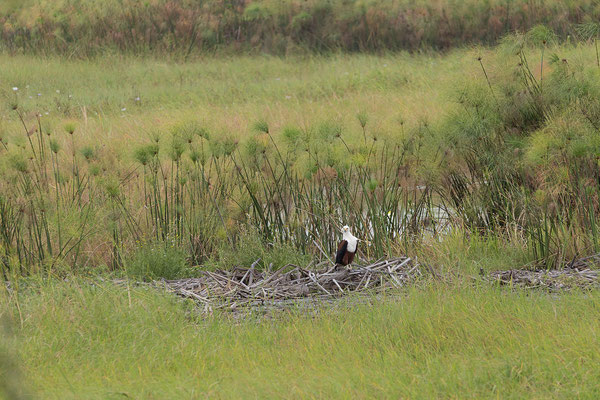 25.4. Mahango Game Reserve, African fish eagle - Haliaeetus vocifer