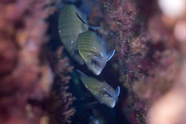 """16.09.Tauchgang bei der """"Schildkröte"""" in den Lavezzi Inseln"""
