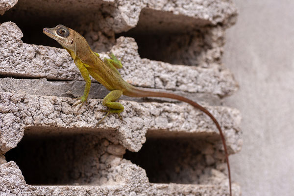 Spice and Herb Garden, Anolis