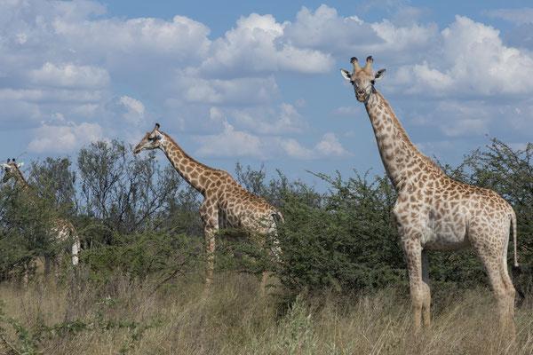 09.05. Moremi GR; Giraffe - Giraffa camelopardalis