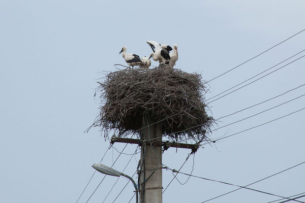 17.6. Auch in der Bucovina treffen wir oft auf Storchennester.