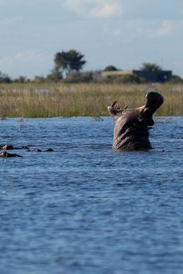 Flusspferd - Hippopotamus amphibius, SEHR schlecht gelaunt!