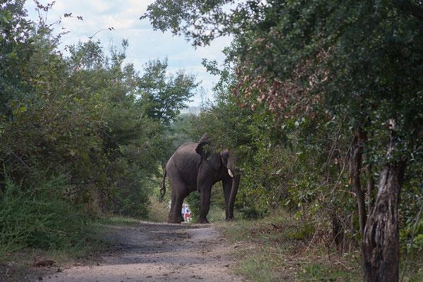Elefant aus nächster Nähe beim Verdauungsspaziergang