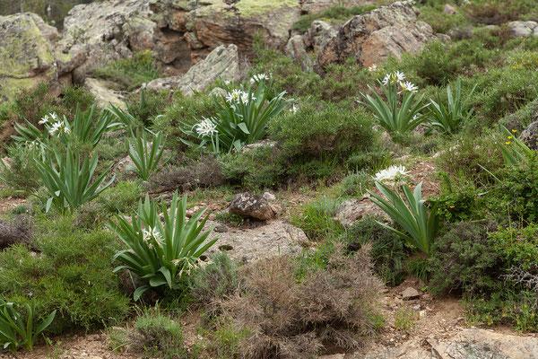 03.06. Überall blüht es; Pancratium illyricum - Trichternarzisse