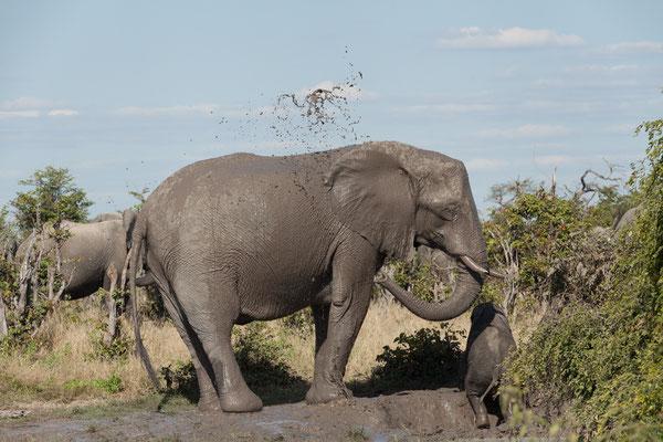 06.05. Chobe NP; Elefanten - Loxodonta africana