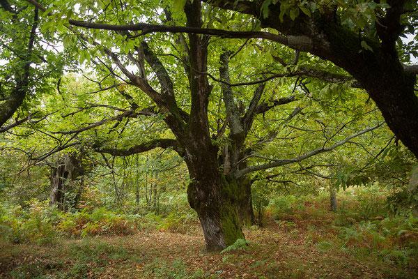 17.9. Unterwegs durchfahren wir an Korsika erinnernde Kastanienwälder.