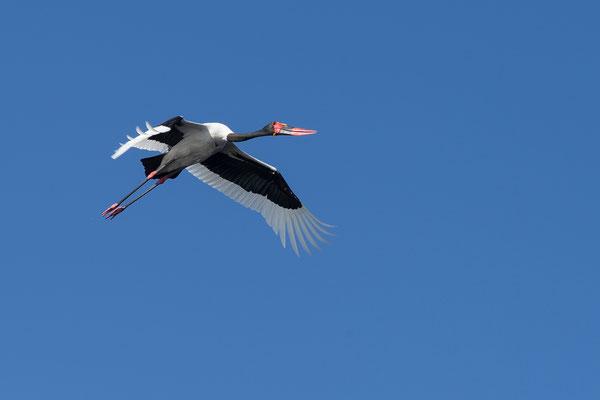 08.05. Moremi GR - Xakanaxa Lagoon; Saddle-billed stork - Ephippiorhynchus senegalensis