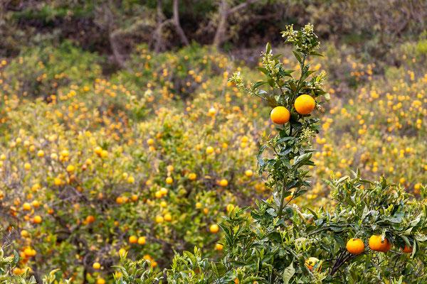 02.04. Die Gegend um die Fuentes del Algar ist für den Anbau von Zitrusfrüchten bekannt.