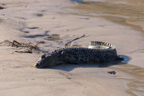 25.4. Bootsfahrt am Kavango, Nilkrokodil - Crocodylus niloticus