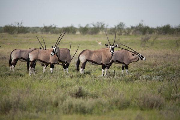 25.2. Etosha - Oryx (Oryx gazella)