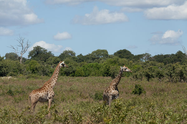 03.05. Chobe NP (Riverfront), Giraffen - Giraffa camelopardalis