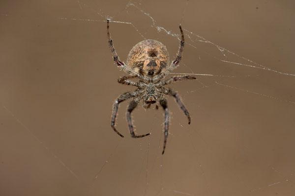 22.2. Orb-web spider (Araneinae)