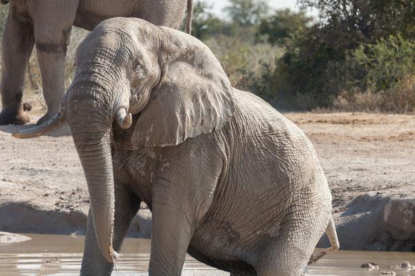 11.05. Nxai Pan NP, Elefanten - Loxodonta africana
