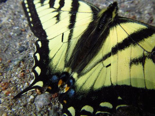 Häufiger Schmetterling hier in der Gegend